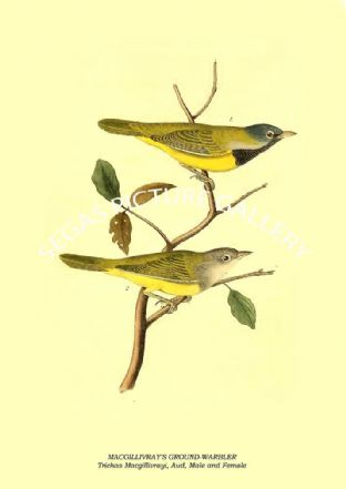 MACGILLIVRAY'S GROUND-WARBLER - Trichas Macgillivrayi, Aud, Male and Female